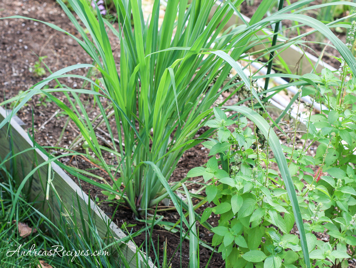 Lemongrass in our garden - Andrea Meyers