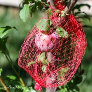 Plums covered in netting - Andrea Meyers