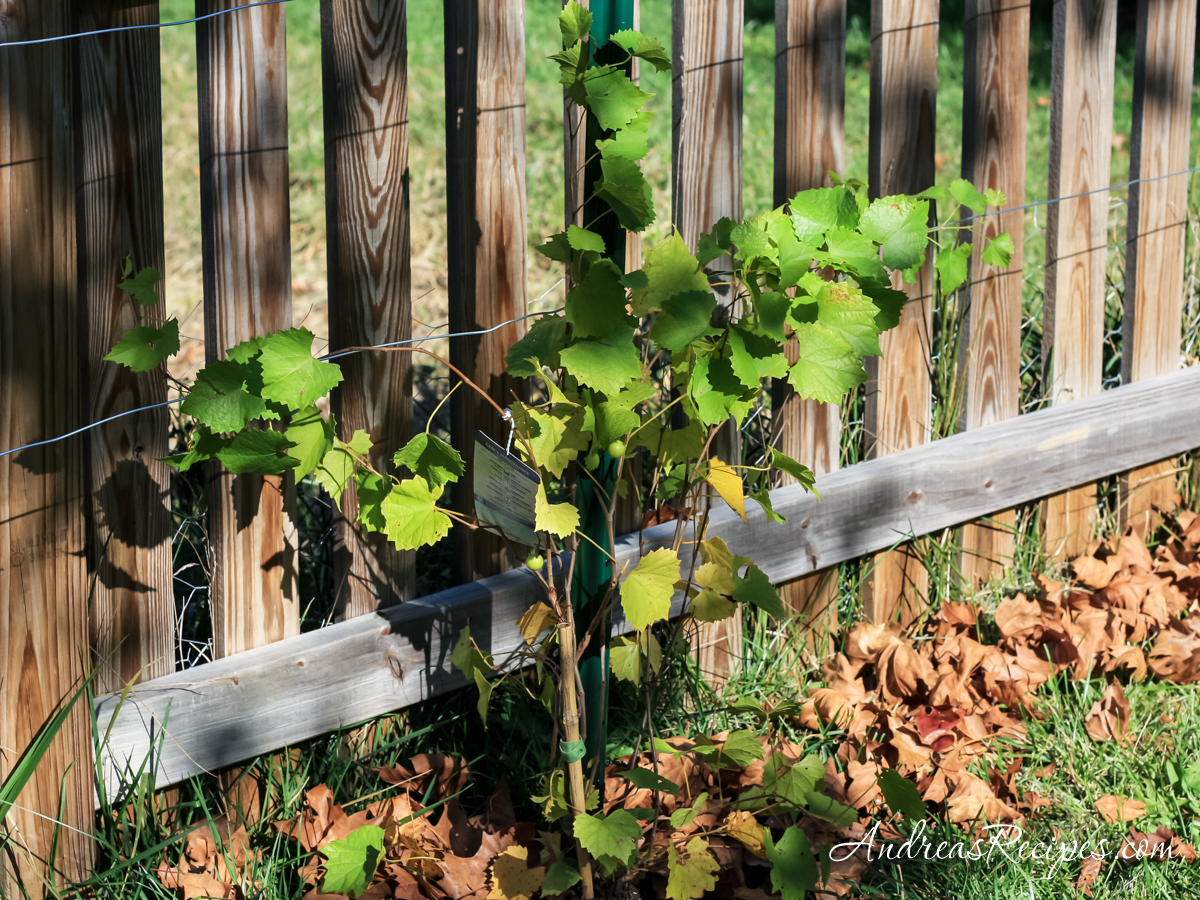 Muscadine grape vine - Andrea Meyers