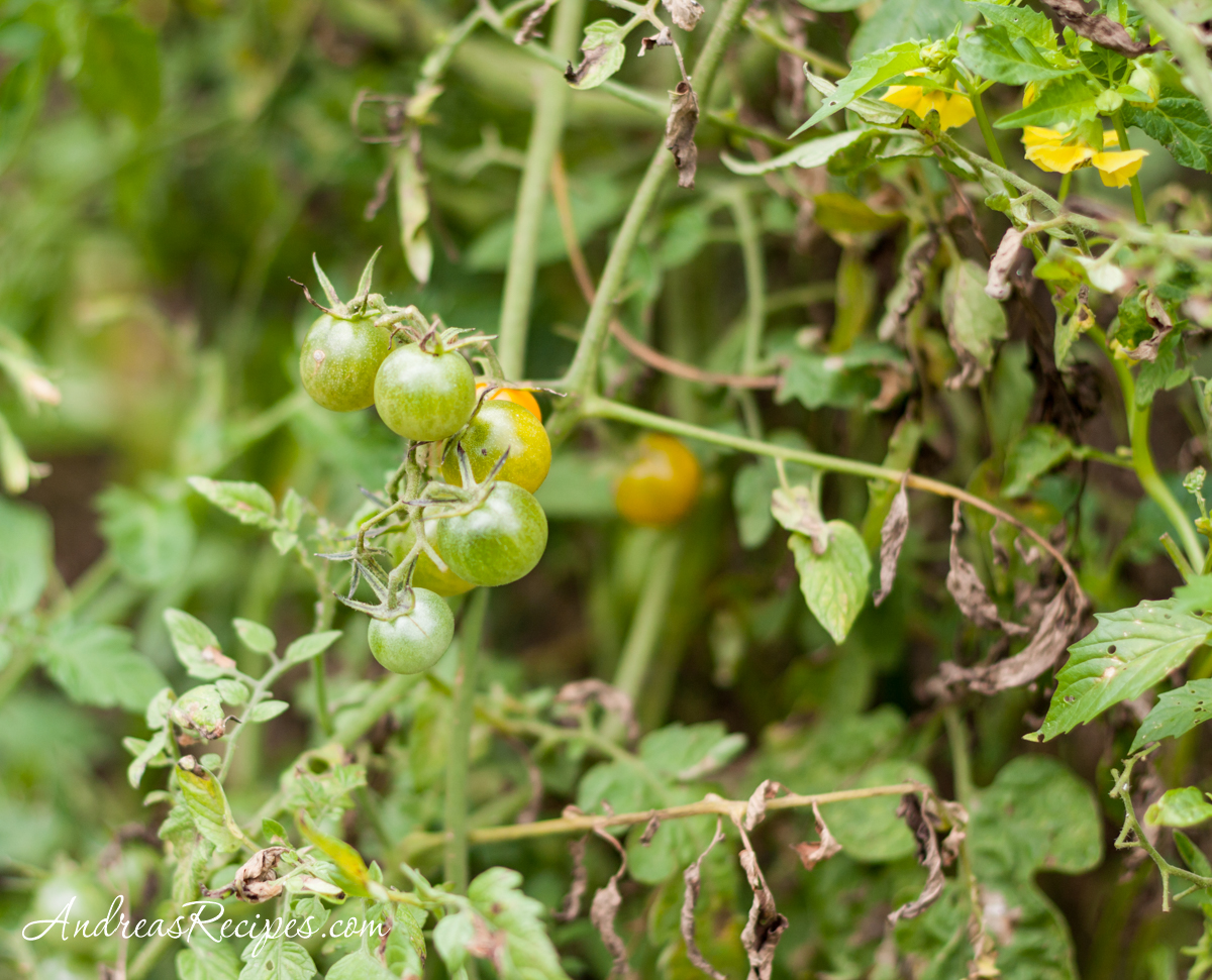Green cherry tomatoes - Andrea Meyers