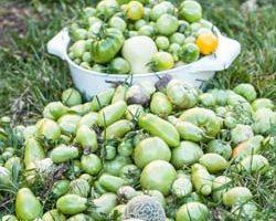 Weekend Gardening: Final Harvest of the Summer Season