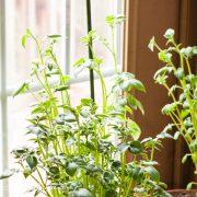 Potato plants in pots, winter - Andrea Meyers