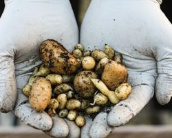 Weekend Gardening: Growing Potatoes in the Winter, Part 3