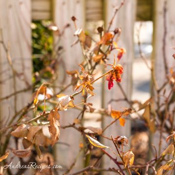 Rose bushes in winter - Andrea Meyers