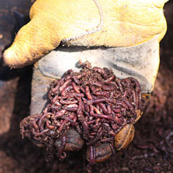 Worms for our worm farm - Andrea Meyers