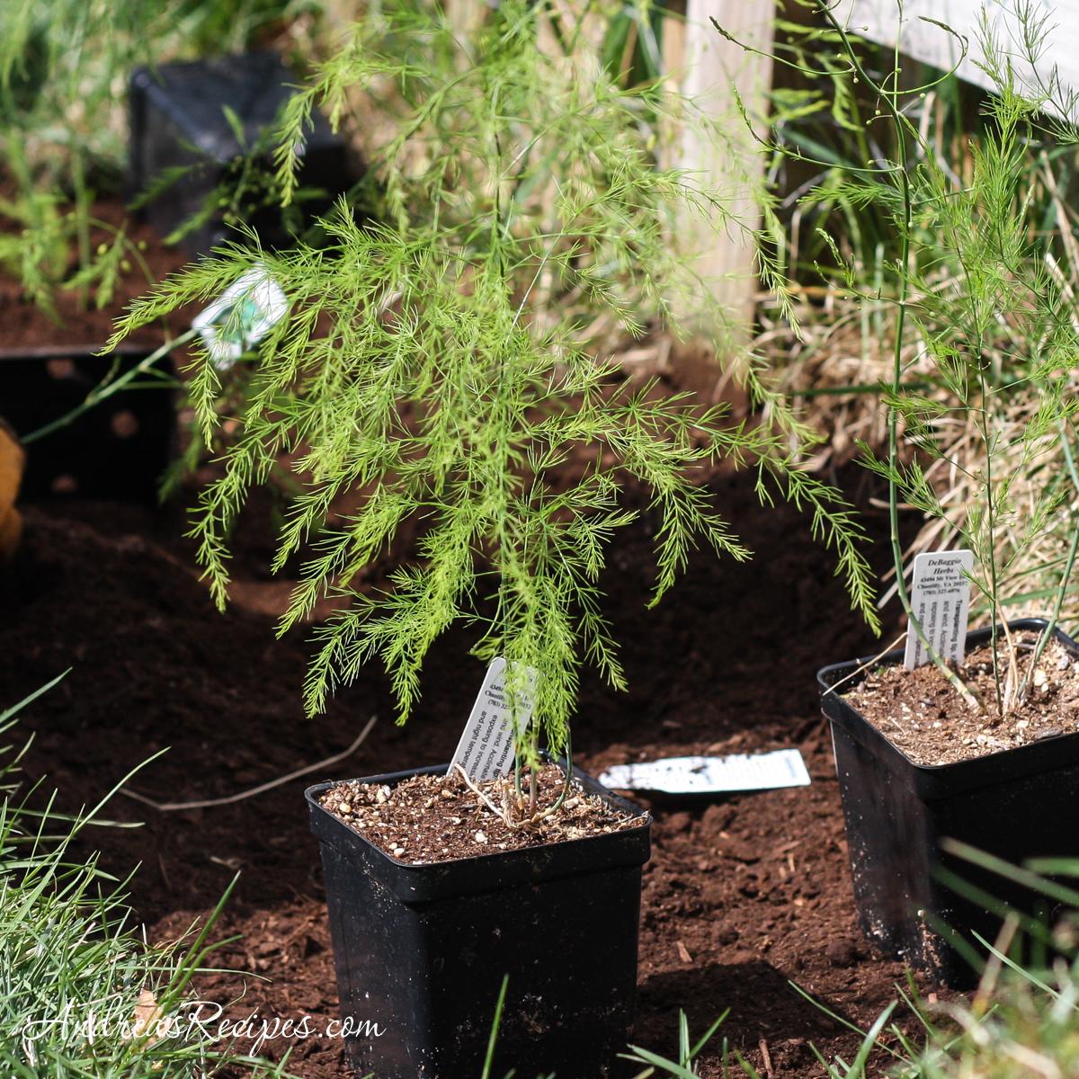 Asparagus plants - Andrea Meyers