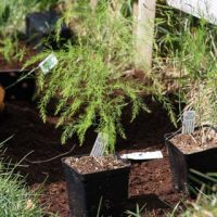 Starting an Asparagus Bed - Andrea Meyers