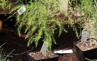 Weekend Gardening: Starting an Asparagus Bed