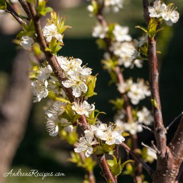 Plum blossoms - Andrea Meyers