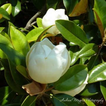 Magnolia blossom at the Atlanta Botanical Garden - Andrea Meyers