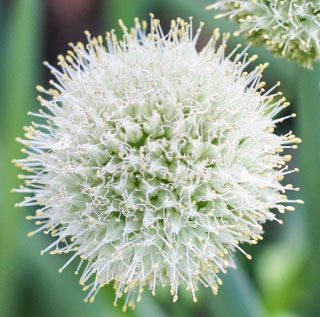 Green onion blossom - Andrea Meyers