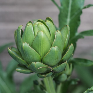Artichoke in our garden - Andrea Meyers