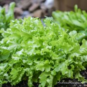 Spring lettuce in our garden - Andrea Meyers