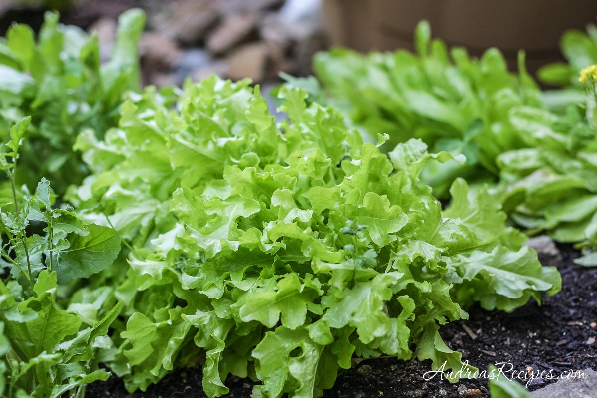 Spring lettuce in our garden - Andrea Meyers