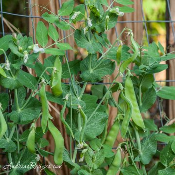 Snow peas in our garden, June 2011 - Andrea Meyers