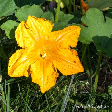 Pumpkin blossom in our garden - Andrea Meyers