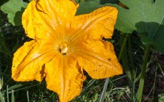 Daily Photo: Pumpkin Blossom