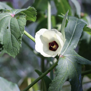 Daily Photo: Okra Blossom - Andrea Meyers