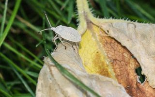 Weekend Gardening: Squash Bug Control