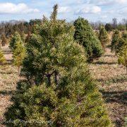 Christmas tree at Ticonderoga Farm in Loudoun County, VA