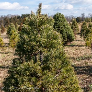 Christmas tree at Ticonderoga Farm in Loudoun County, VA