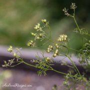 Cilantro Seeds - Andrea Meyers