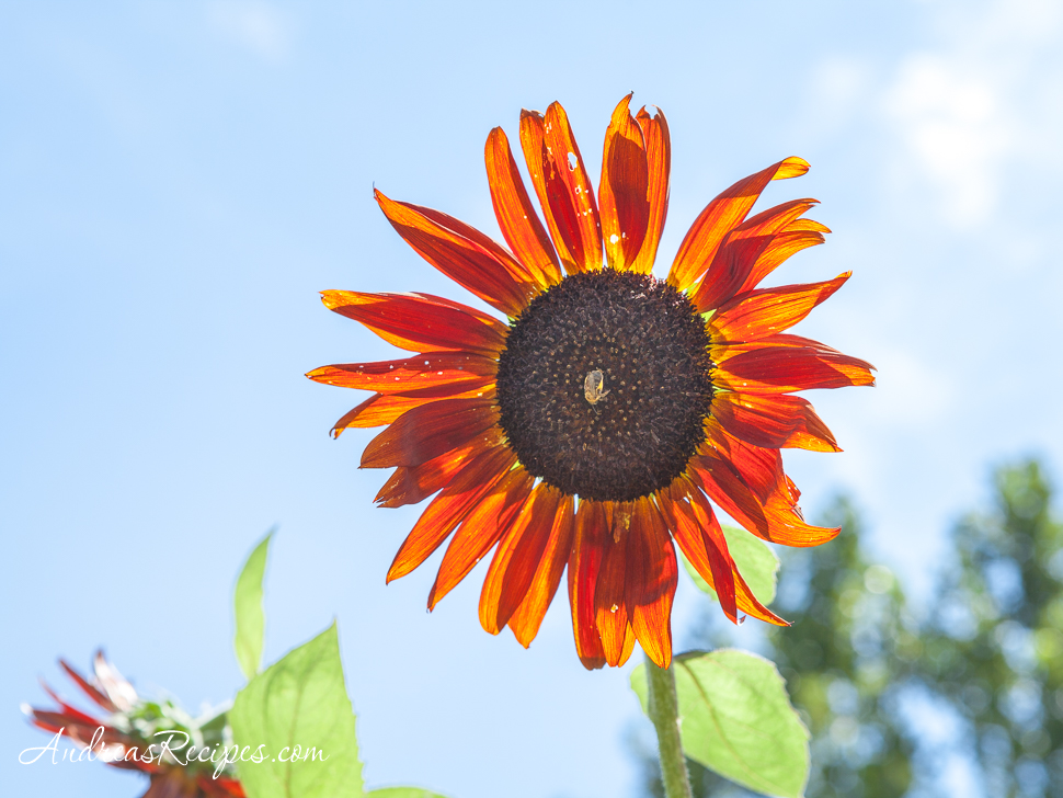 Sunflower at Ticonderoga Farm - Andrea Meyers