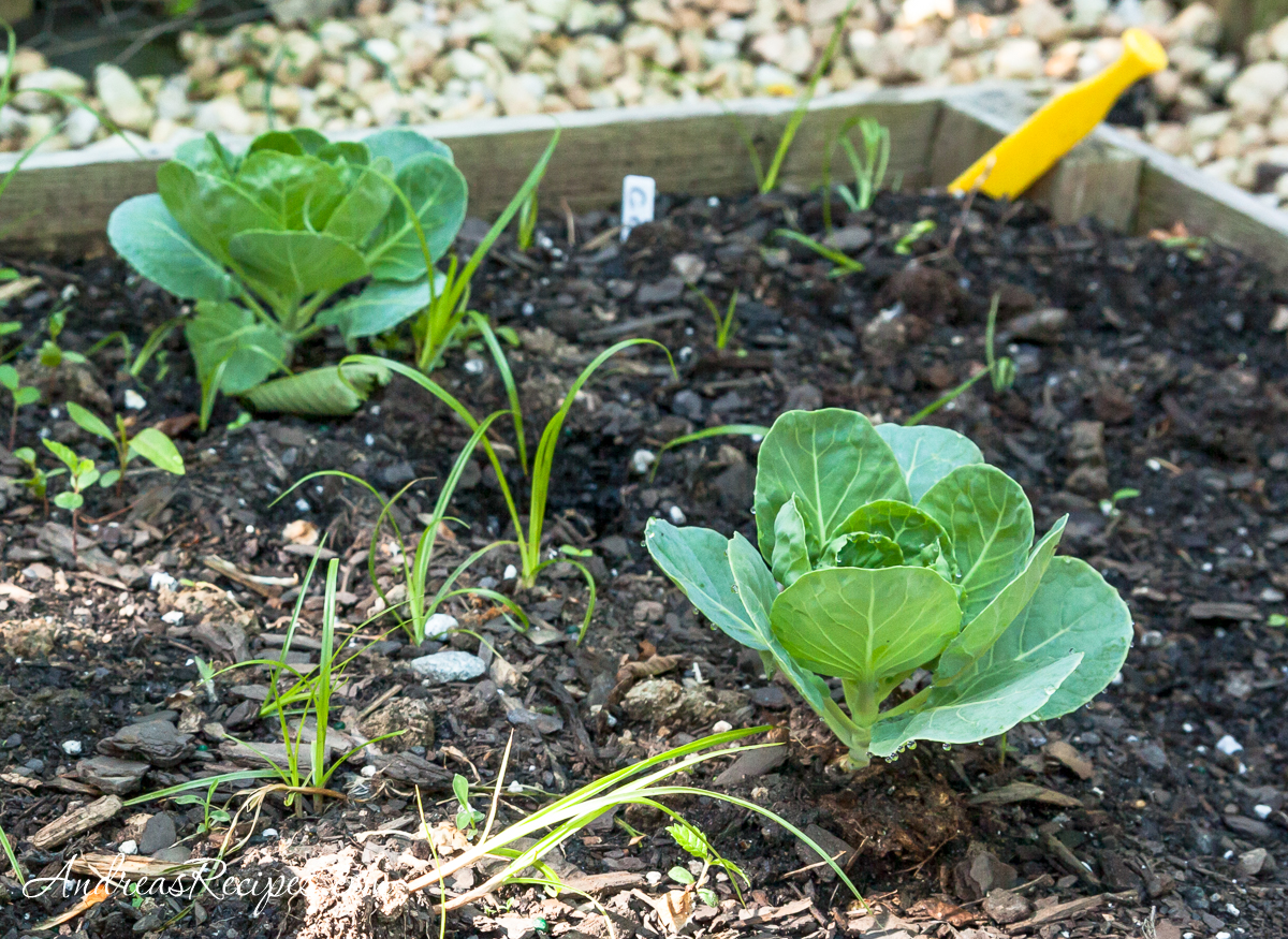 Brussels sprouts in our garden - Andrea Meyers