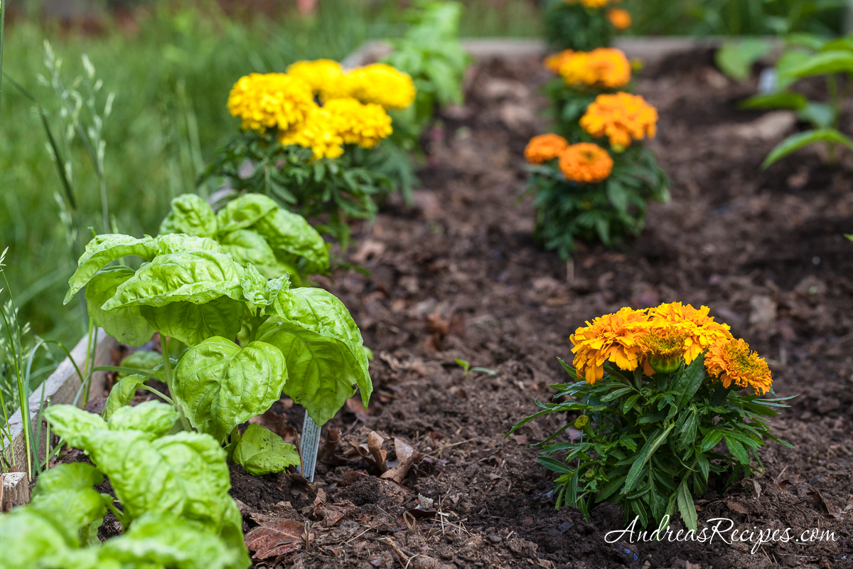 Napolitano Basil and Marigolds - Andrea Meyers