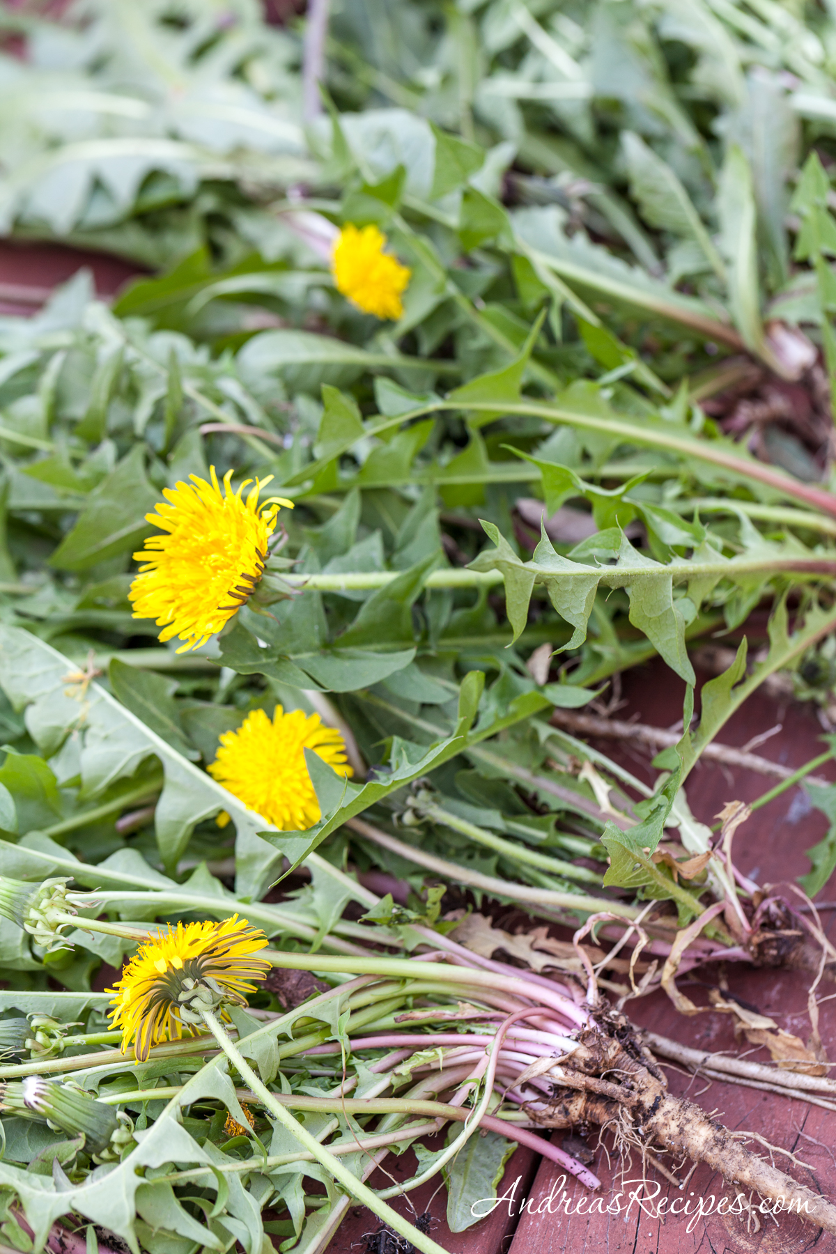 Harvested dandelions with roots - Andrea Meyers