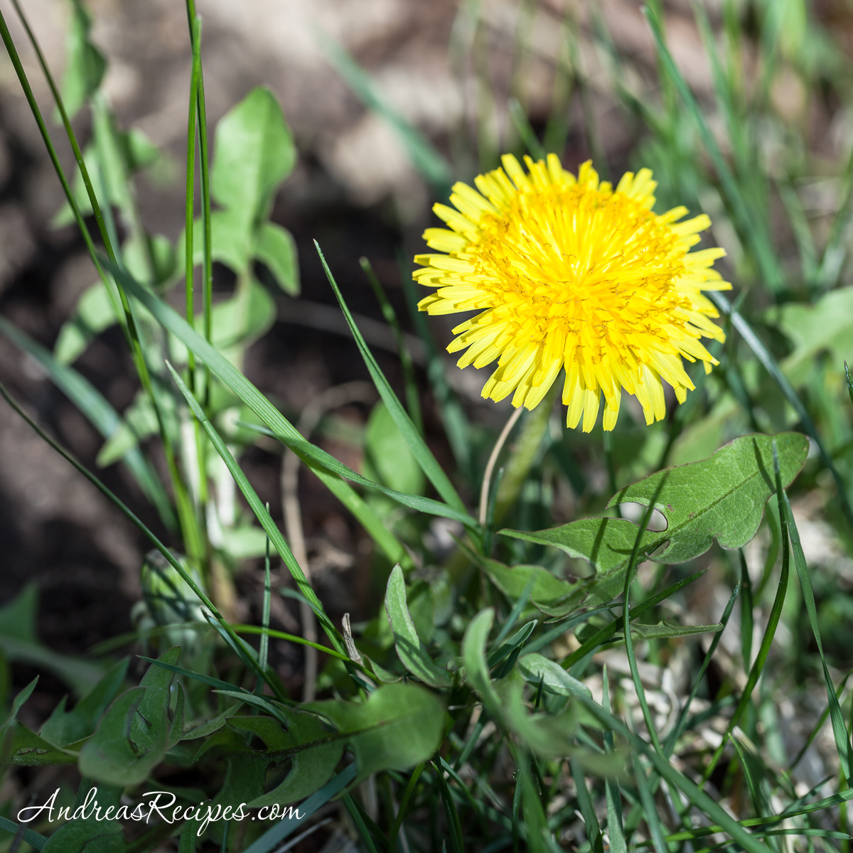 Dandelion flower and leaves - Andrea Meyers
