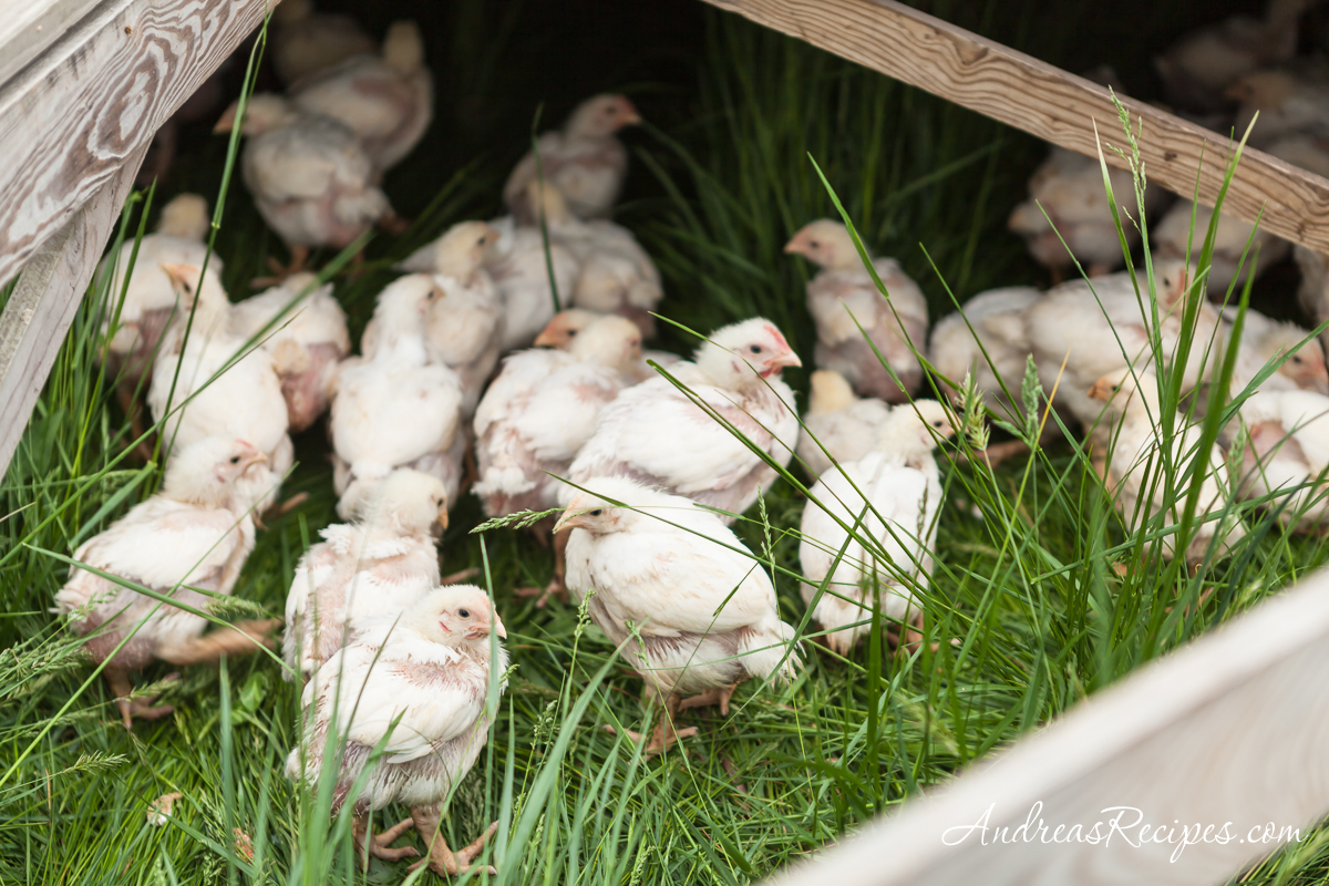 Pastured chickens at Whiffletree Farm - Andrea Meyers