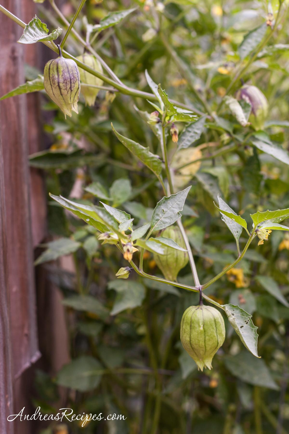 Tomatillos in our garden - Andrea Meyers