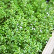 Lemon thyme in our garden - Andrea Meyers
