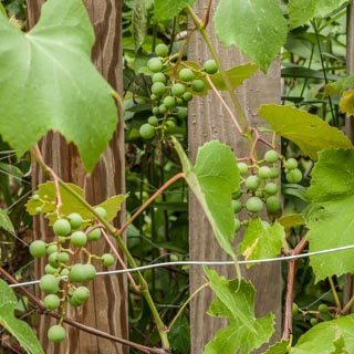 Concord grapes on the vine - Andrea Meyers