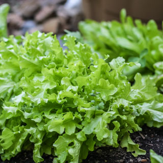 Lettuce in our garden - Andrea Meyers