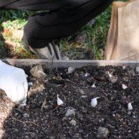 Planting Garlic - Andrea Meyers