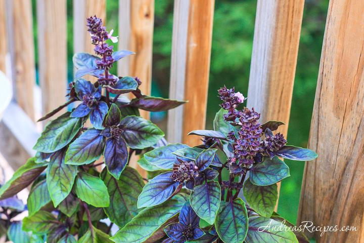 Purple Basil - Andrea Meyers